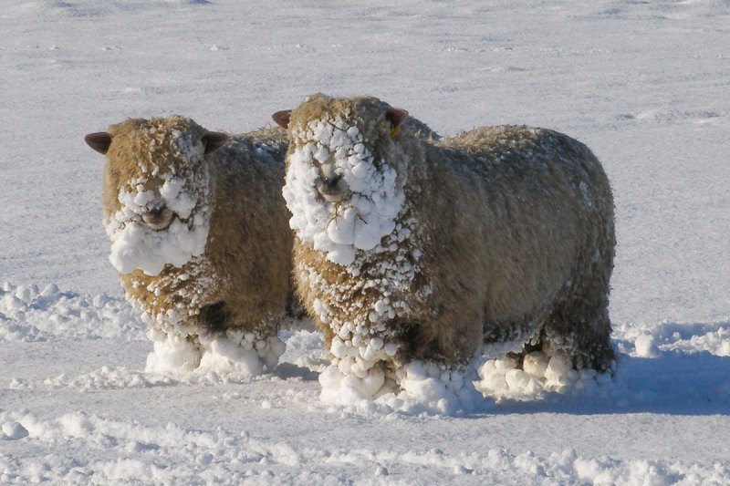 schapen-in-sneeuw